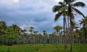 A Coconut farm