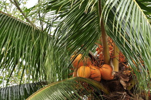 Coconuts on the tree