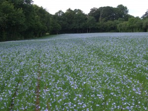 Linseed starting to flower in June