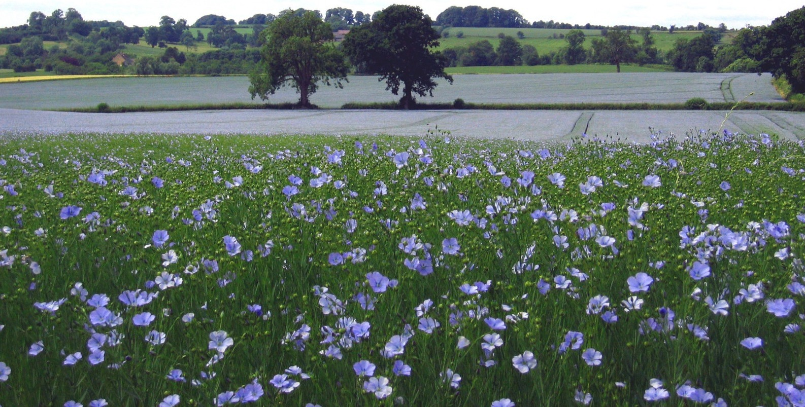 Linseed in bloom in the UK