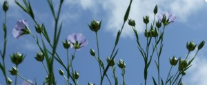 Linseed (flax) flowers and seedheads, bolls beginning to form