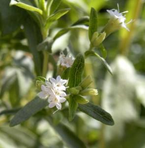 Stevia rebaudiana in flower