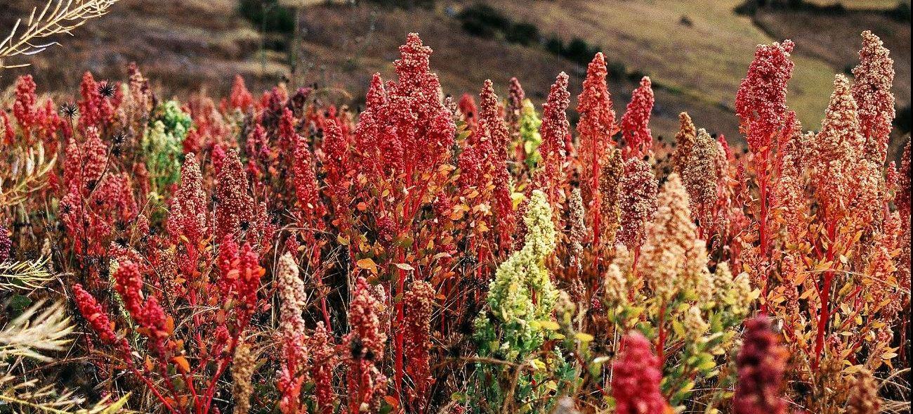 Maurice Chédel, Quinua (Quinoa) plants near Cachora, Apurímac, Peru. Altitude: 3800m